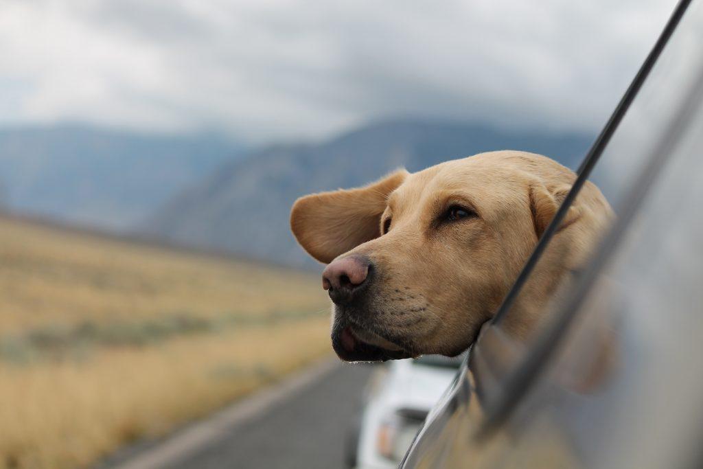 Manche Hunde geniessen Autofahren